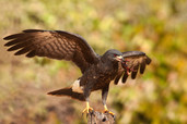 Snail Kite Eating Crab Pantanal Brazil 9779