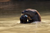 Giant Otter Eating Fish Pantanal Brazil 9827